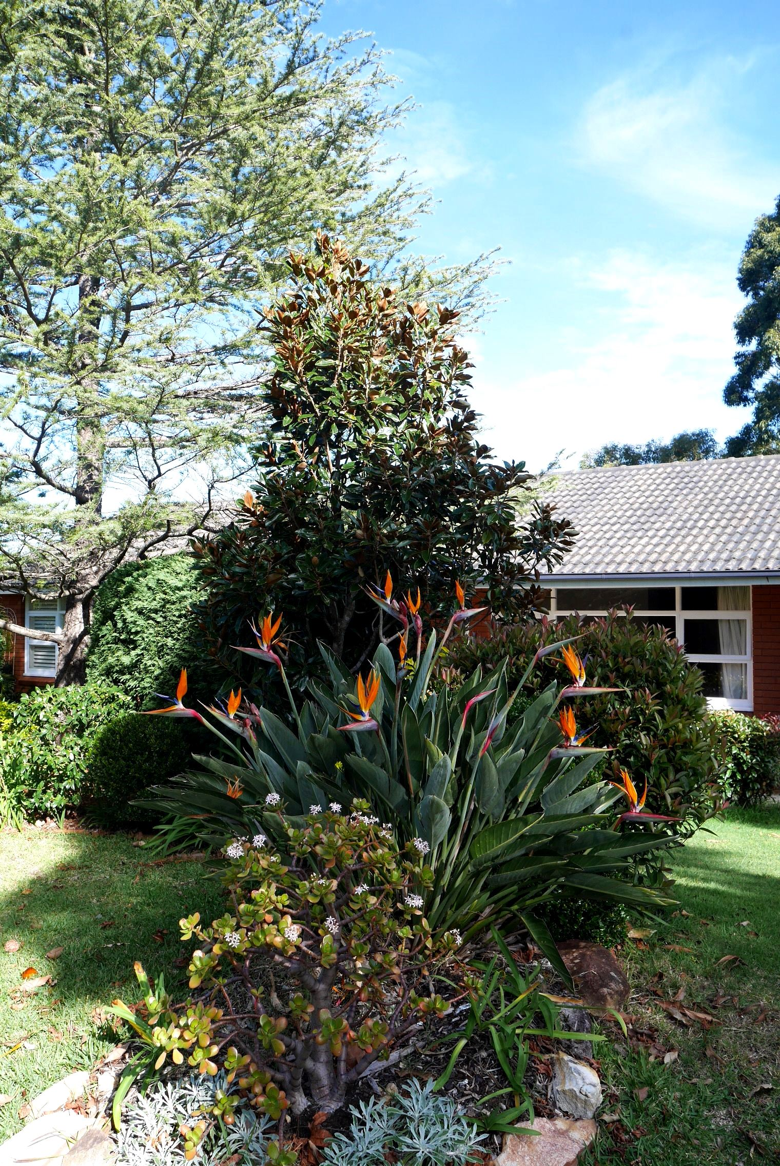 Bird of paradise plant on our front lawn (money plant in foreground)